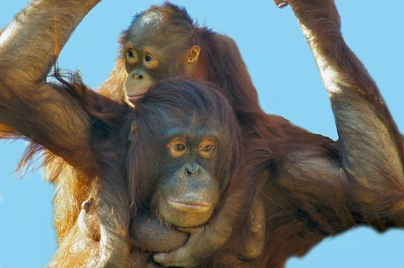 800px-Orangutan_motehr_and_baby_by_Bonnie_Gruenberg2