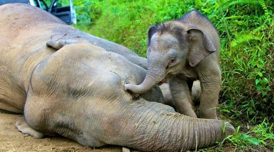 A baby elephant mourns his slaughtered mother