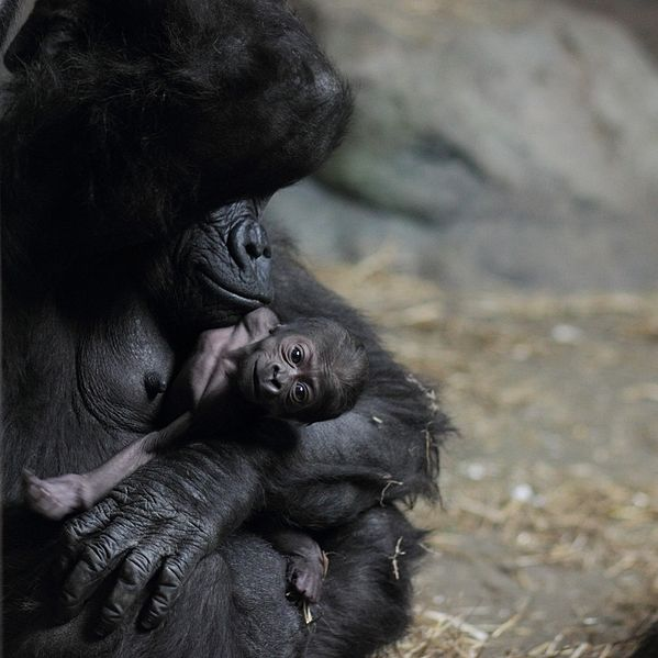 599px-Moka_with_baby_gorilla_at_Pittsburgh_Zoo_12,_2012-02-17