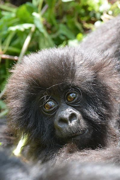 Baby_mountain_gorilla
