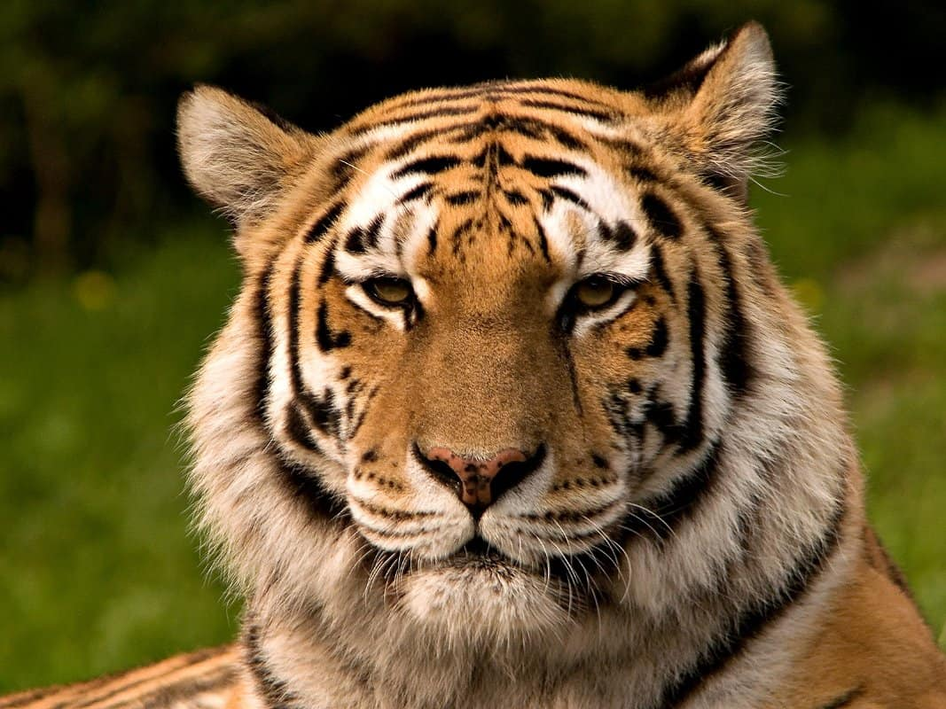 How chinese medicine is killing off the tiger eluxe magazine tigers theyre iconic the perfect symbol of ferocious power stealth and exoticism biocorpaavc