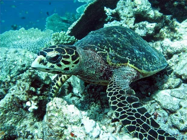 Gili-Lankanfushi-Sea-Turtle-Maldives-Travel