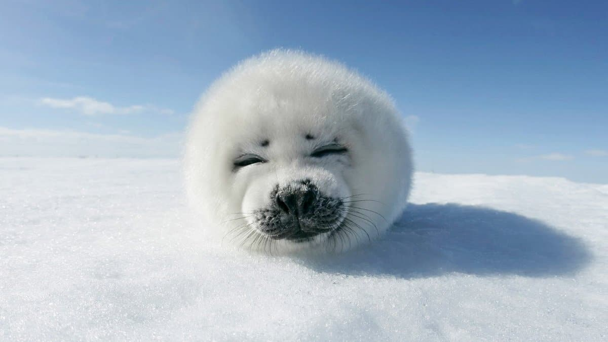 baby-harp-seal-clubbingrelove-planet-------------whats-going-on--canadas-annual-seal-hunt-gqjmdbtx