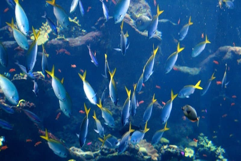 800px-School_of_fish_at_California_Academy_of_Sciences