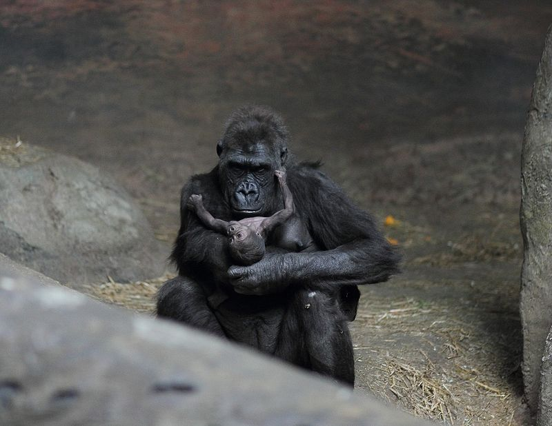 800px-Moka_with_baby_gorilla_at_Pittsburgh_Zoo_8,_2012-02-17