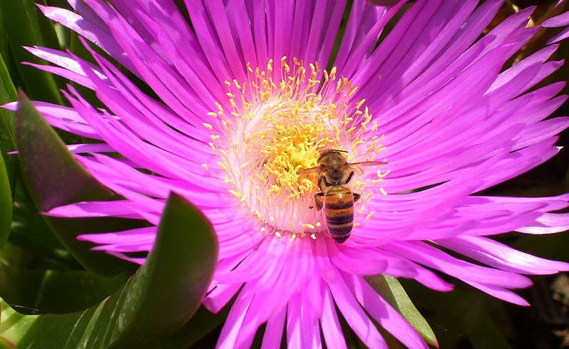 800px-Honeybee_gathering_nectar