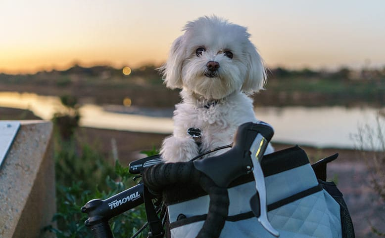 Maltese_with_Short_Hair_in_Bike_Basket