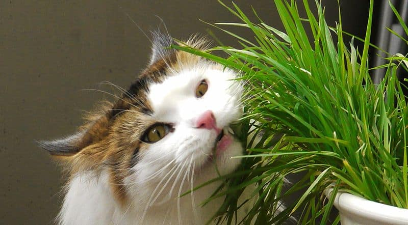 800px-Cat_Eating_Catgrass