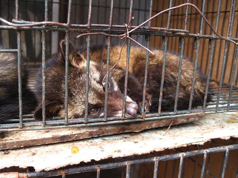 800px-Luwak_(civet_cat)_in_cage