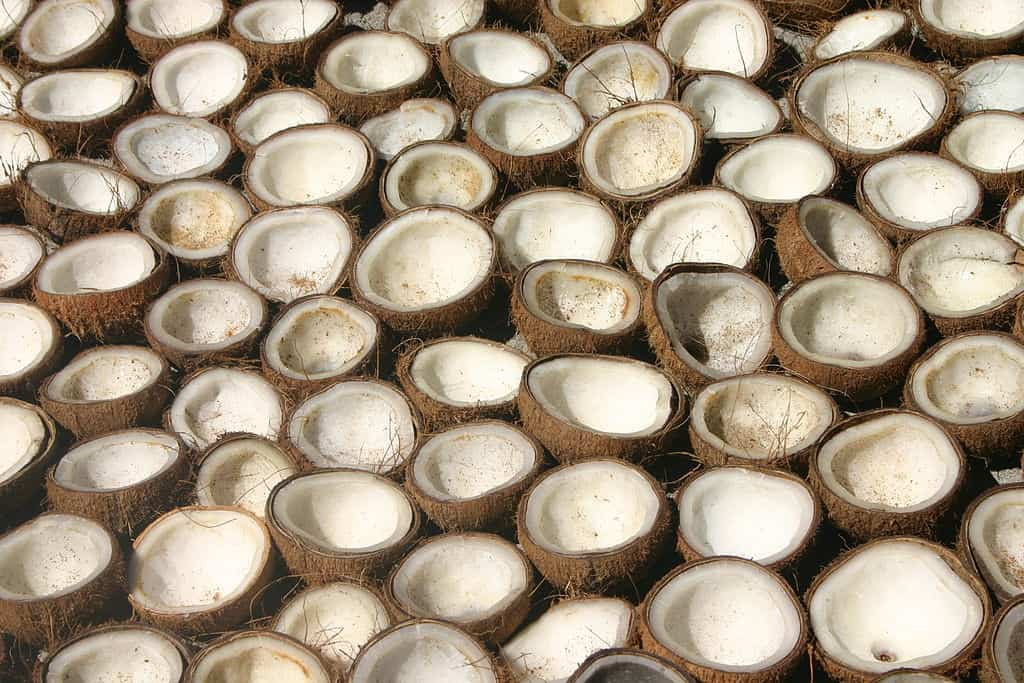 Coconuts_drying_before_being_processed_into_copra,_Polomuhu_village,_Central_Province,_Solomon_Islands_2004._Photo-_Peter_Davis_-_AusAID_(10687170956)
