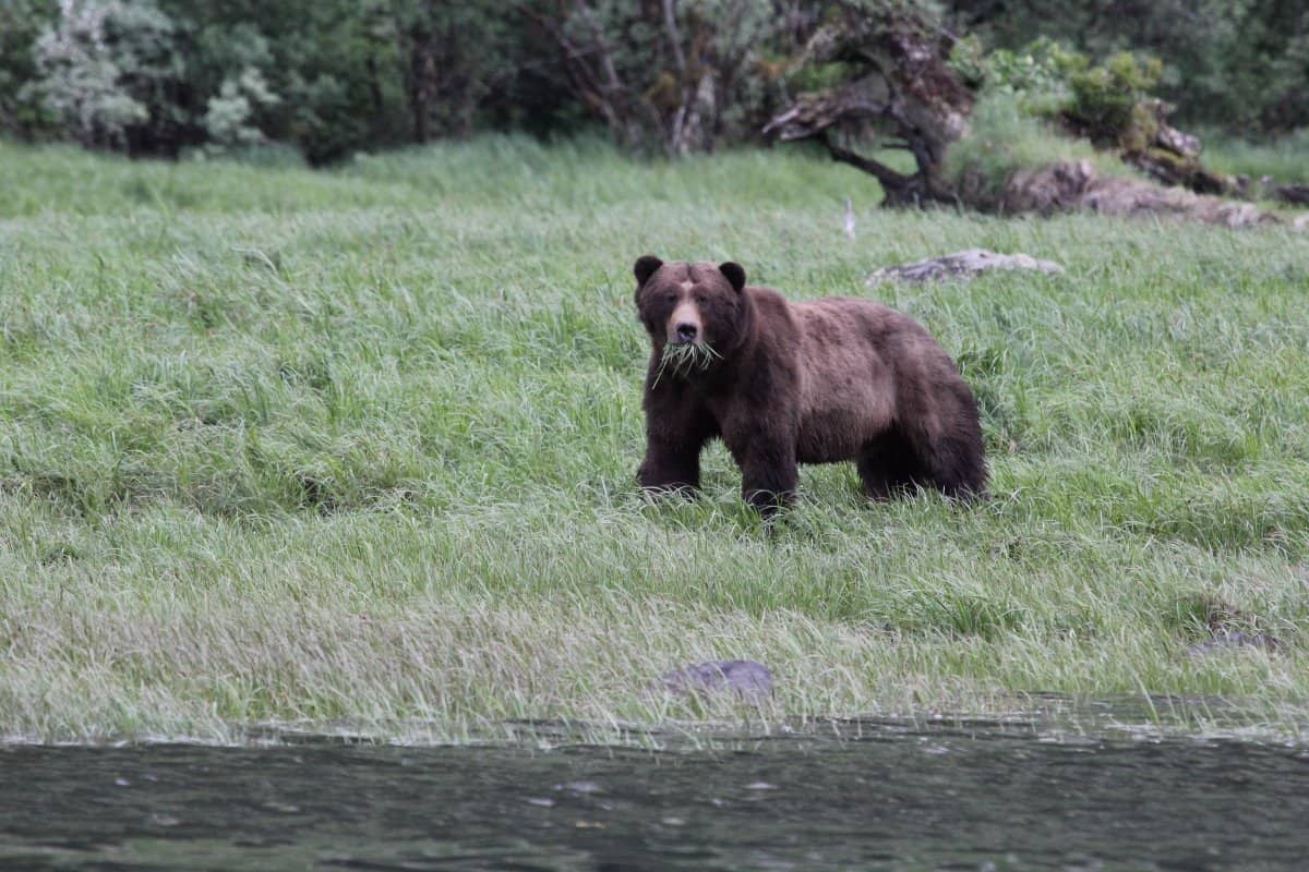 c-us-grizzly-brown-bear-alaska-usa0000036876