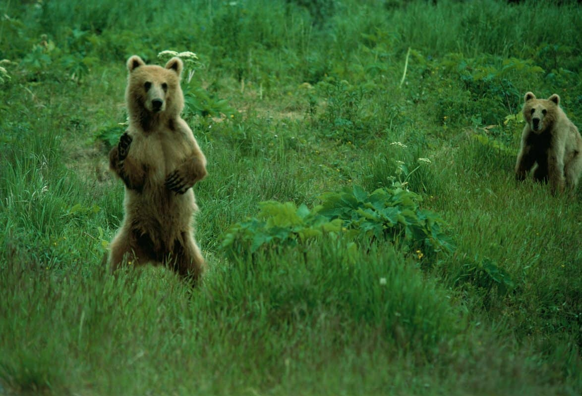 Two Kodiak bears in meadow, one standing on hind legs