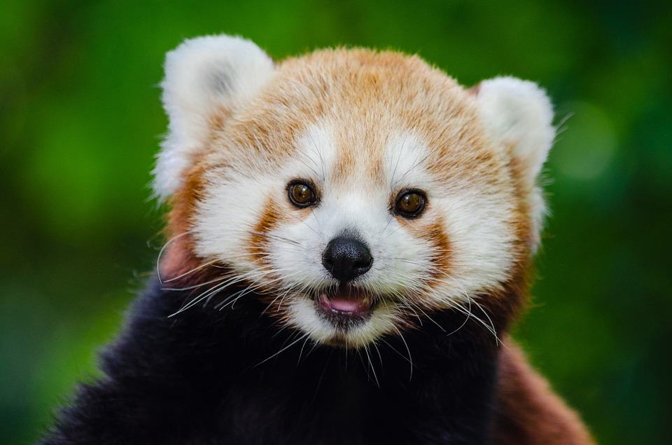 Meet The Red Panda Your New Favourite Animal