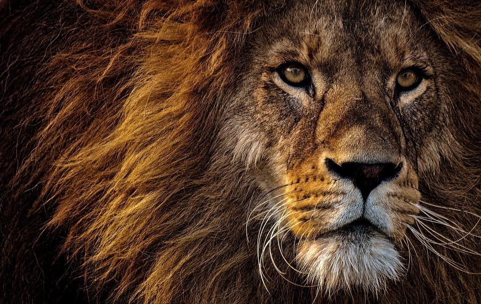 Link Between Lion Petting Tours And Hunting